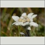 Bild 83 zum Bildarchiv Sonstige Blüten
