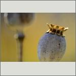 Bild 21 zum Bildarchiv Früchte/Samen