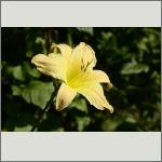 Bild 102 zum Bildarchiv Sonstige Blüten