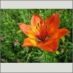 Bild 107 zum Bildarchiv Sonstige Blüten