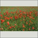 Bild 108 zum Bildarchiv Sonstige Blüten