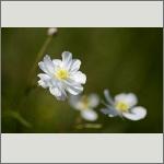 Bild 109 zum Bildarchiv Sonstige Blüten