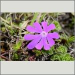Bild 110 zum Bildarchiv Sonstige Blüten