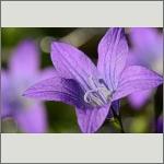 Bild 114 zum Bildarchiv Sonstige Blüten