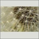 Bild 24 zum Bildarchiv Früchte/Samen
