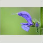 Bild 117 zum Bildarchiv Sonstige Blüten