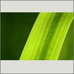 Bild 55 zum Bildarchiv Sonstige Pflanzen