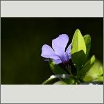 Bild 118 zum Bildarchiv Sonstige Blüten