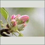 Bild 19 zum Bildarchiv Blüten Gehölze