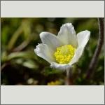 Bild 100 zum Bildarchiv Sonstige Blüten
