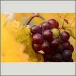 Bild 20 zum Bildarchiv Früchte/Samen