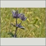 Bild 78 zum Bildarchiv Sonstige Blüten