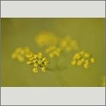 Bild 59 zum Bildarchiv Sonstige Blüten