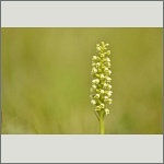 Bild 8 zum Bildarchiv Blüten Orchideen