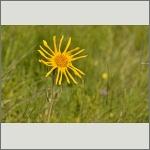 Bild 63 zum Bildarchiv Sonstige Blüten