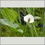 Bild 82 zum Bildarchiv Sonstige Blüten