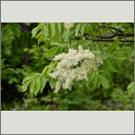 Bild 13 zum Bildarchiv Blüten Gehölze