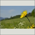 Bild 66 zum Bildarchiv Sonstige Blüten