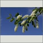 Bild 14 zum Bildarchiv Blüten Gehölze