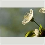 Bild 16 zum Bildarchiv Blüten Gehölze