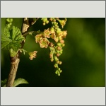 Bild 17 zum Bildarchiv Blüten Gehölze