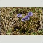 Bild 68 zum Bildarchiv Sonstige Blüten