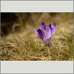 Bild 87 zum Bildarchiv Sonstige Blüten