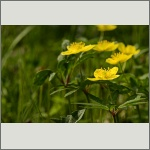 Bild 70 zum Bildarchiv Sonstige Blüten