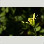 Bild 75 zum Bildarchiv Sonstige Blüten