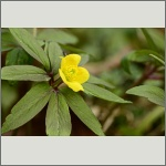 Bild 95 zum Bildarchiv Sonstige Blüten