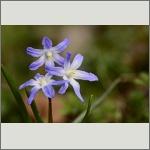 Bild 96 zum Bildarchiv Sonstige Blüten