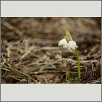 Bild 79 zum Bildarchiv Sonstige Blüten