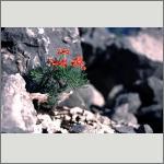 Bild 157 zum Bildarchiv Sonstige Blüten