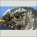 Bild 33 zum Bildarchiv Augen