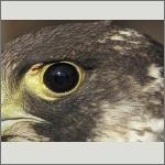 Bild 16 zum Bildarchiv Augen