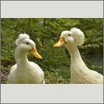 Bild 11 zum Bildarchiv Vögel