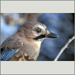 Bild 52 zum Bildarchiv Vögel