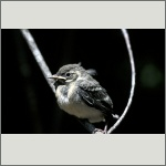 Bild 55 zum Bildarchiv Vögel