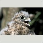 Bild 56 zum Bildarchiv Vögel