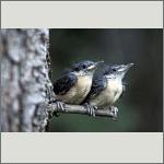 Bild 59 zum Bildarchiv Vögel