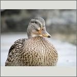 Bild 64 zum Bildarchiv Vögel