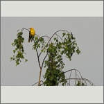 Bild 31 zum Bildarchiv Vögel