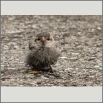 Bild 19 zum Bildarchiv Vögel