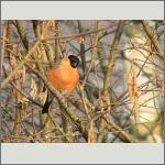 Bild 23 zum Bildarchiv Vögel
