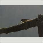 Bild 24 zum Bildarchiv Vögel