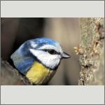 Bild 32 zum Bildarchiv Vögel