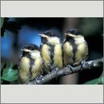 Bild 33 zum Bildarchiv Vögel