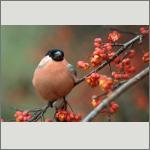 Bild 45 zum Bildarchiv Vögel