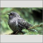 Bild 49 zum Bildarchiv Vögel