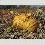 Bild 31 zum Bildarchiv Früchte/Samen